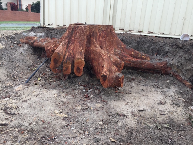 Gum Tree stump