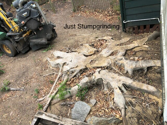 Fig Tree Stump in Brisbane